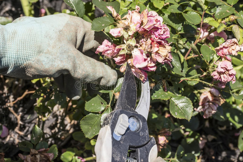 Pruning Drift Roses. A gardener pruning or deadheading drift roses stock image