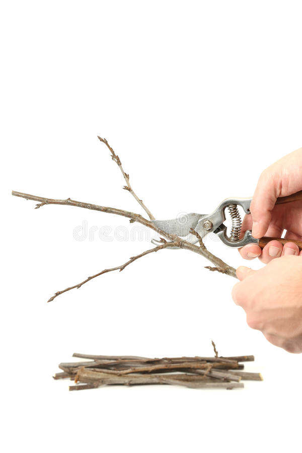 Pruning. Example of pruning with secateurs on white royalty free stock photos