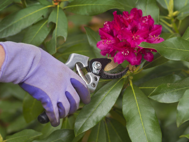 Download Pruning flowers stock image. Image of pink, bouquet, natural - 43752817