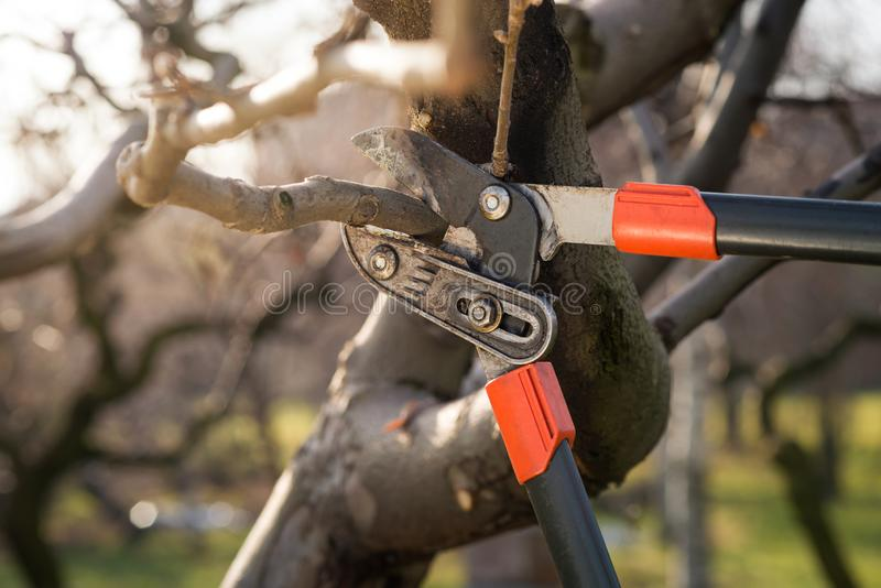 Pruning fruit trees with pruning shears royalty free stock image