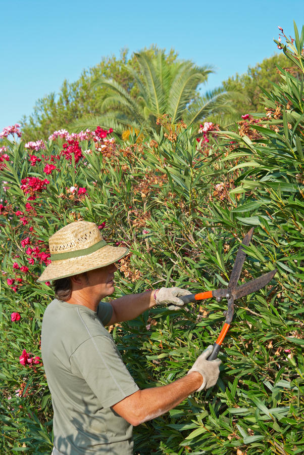 Pruning a hedge. Gardener pruning a lush oleander hedge with shears royalty free stock photography