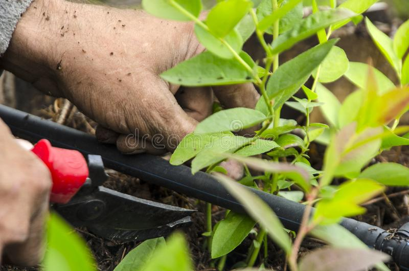 Pruning leaves in a shrub garden. 