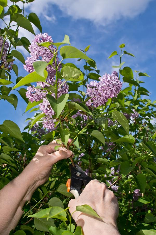 Pruning Lilac stock image