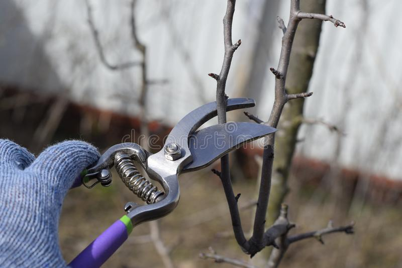 Pruning pear branches pruners. Trimming the tree with a cutter. Spring pruning of fruit trees stock image