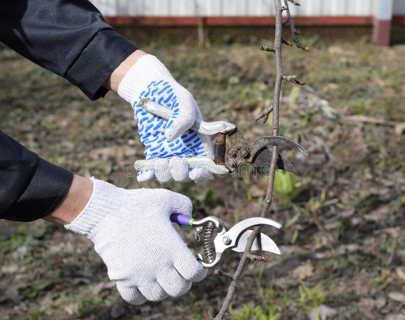 Pruning pear branches pruners. Trimming the tree with a cutter. Spring pruning of fruit trees stock photo