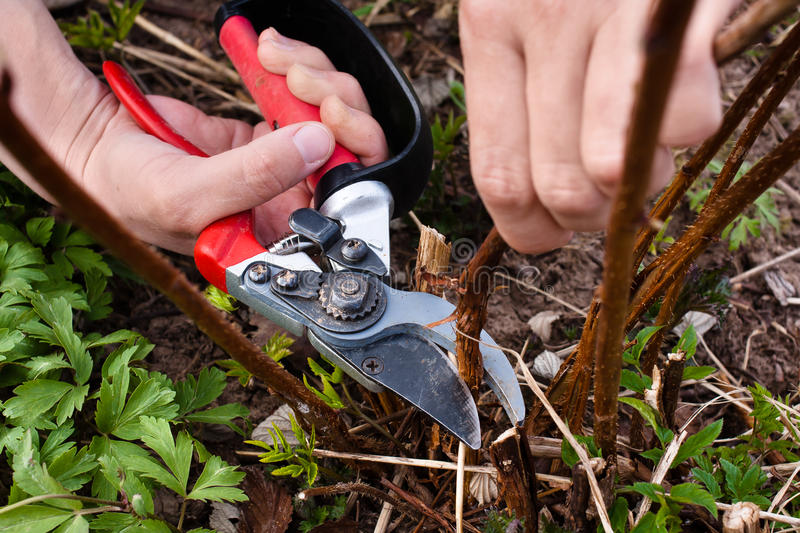 Pruning raspberry stock images