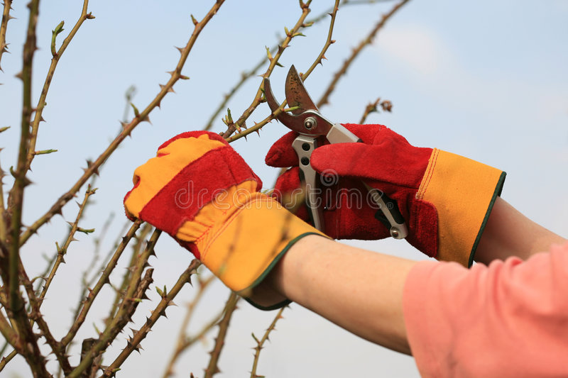 Pruning the roses stock image