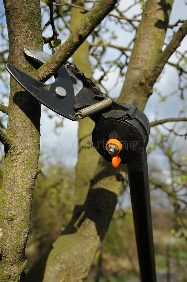 Pruning tree. Cutting tree with pruning shears royalty free stock images