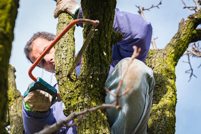 Pruning tree brunch. Gardener pruning fruit trees with pruning saw stock photography