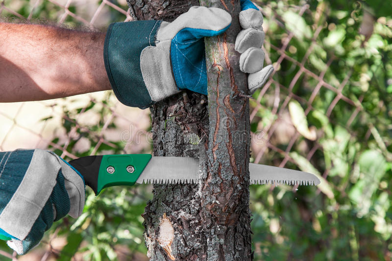 Pruning tree. Pruning fruit trees garden with a hacksaw royalty free stock photos