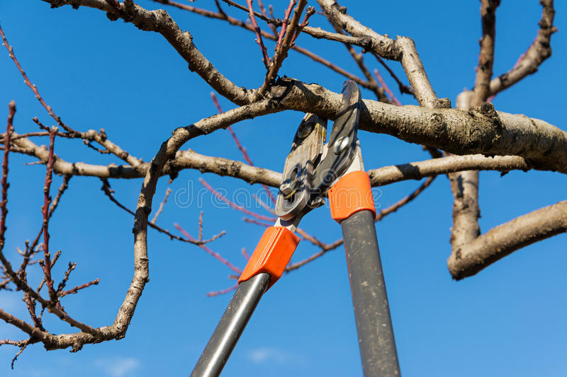 Pruning tree. Man pruning peach-tree brunch with a pruning shears royalty free stock photography