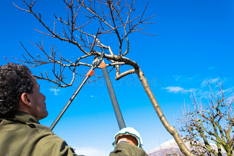 Pruning tree. Man pruning peach-tree brunch with a pruning shears royalty free stock photos