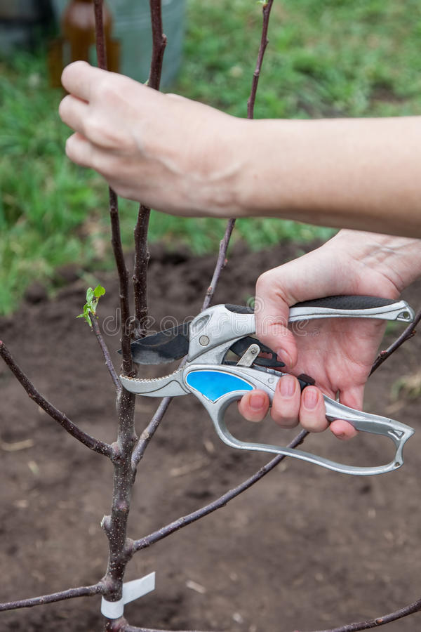 Pruning of tree seedlings after planting. Gardener cuts knot on saplings of fruit trees stock photos