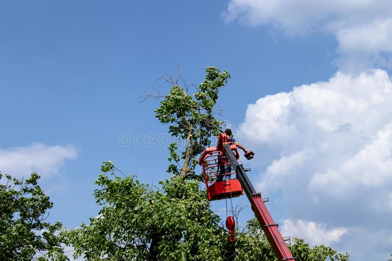 Pruning trees and sawing a man with a chainsaw, a man at high altitude between the branches of an old large tree royalty free stock photo