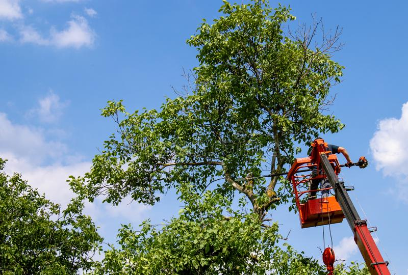 Pruning trees and sawing a man with a chainsaw, a man at high altitude between the branches of an old large tree stock photos