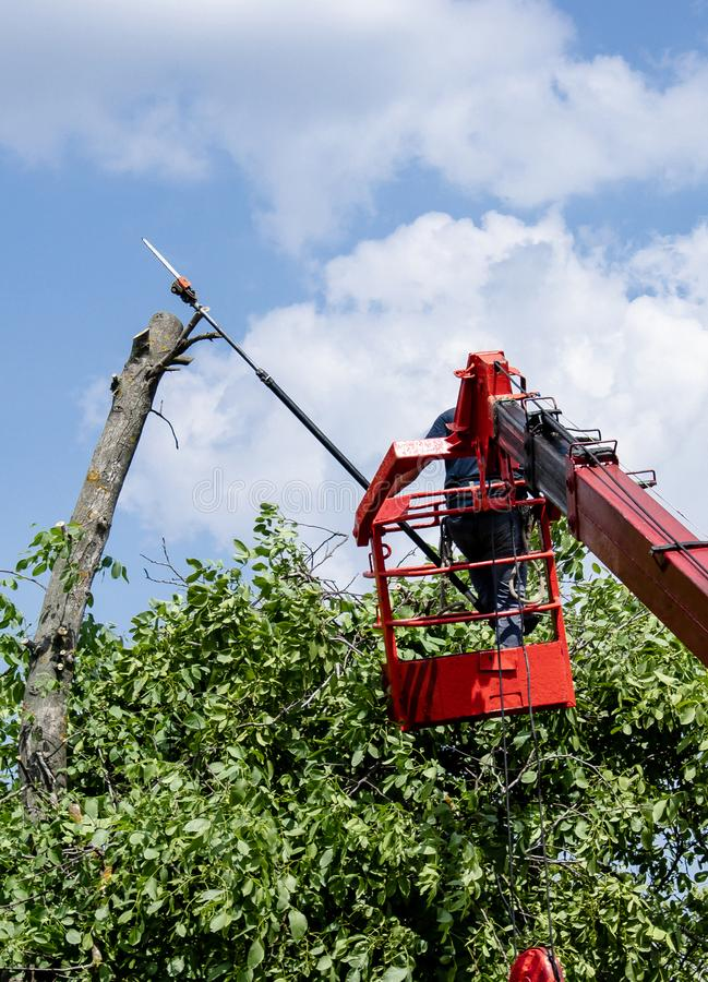 Pruning trees and sawing a man with a chainsaw, a man at high altitude between the branches of an old large tree royalty free stock photography