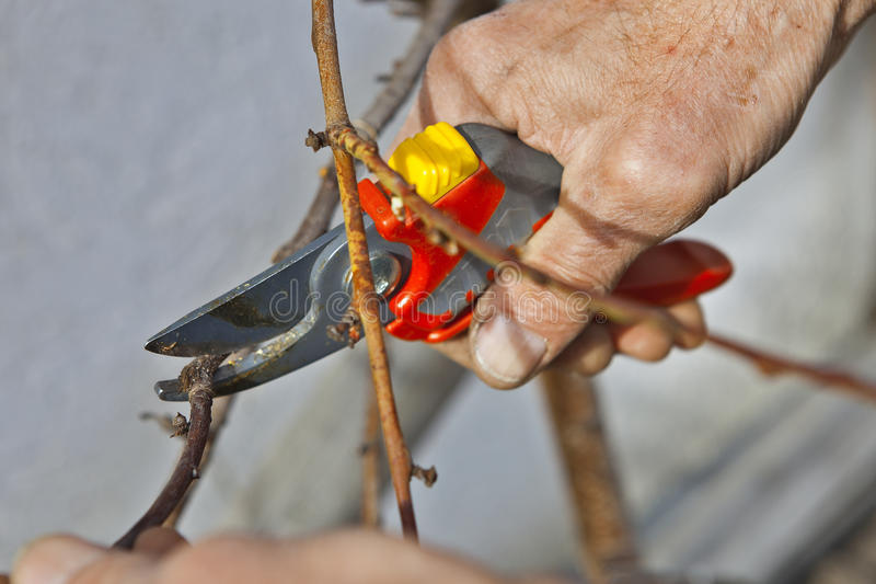 Pruning of trees with secateurs stock photos