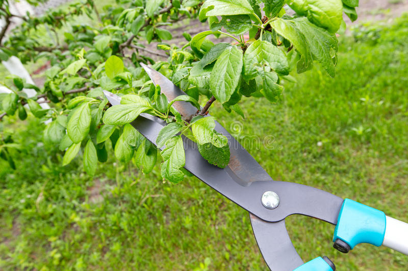 Pruning of trees. Pruning shears trees. Horizontal flat, top view photo natural background with text area royalty free stock photography