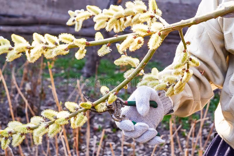 Pruning willow. Branches in spring garden stock photo
