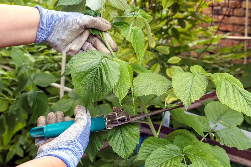 Pruning with young scissors young shoots of raspberries i royalty free stock photography