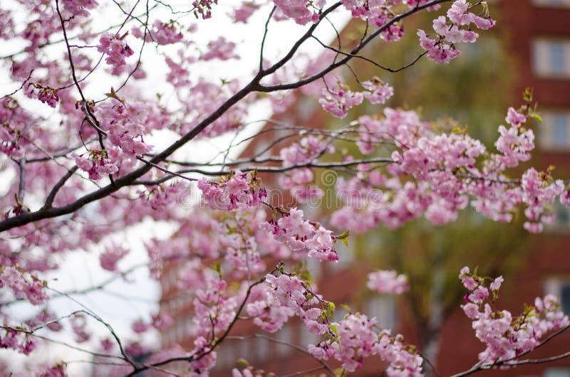 Prunus akolada zdjęcia royalty free