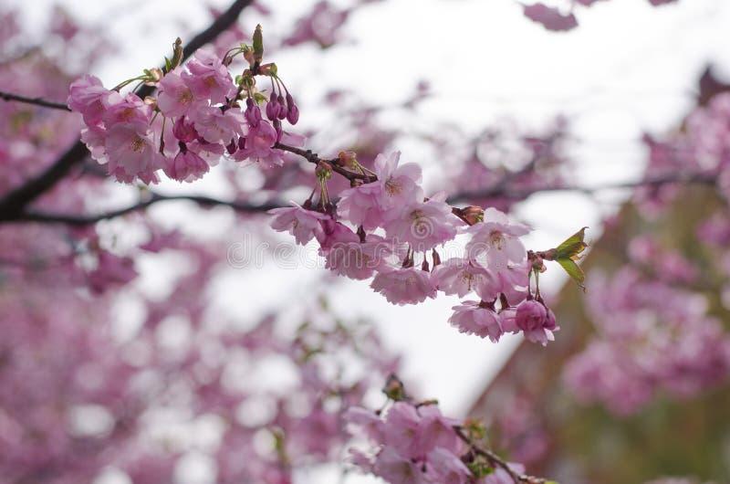 Prunus akolada obrazy royalty free