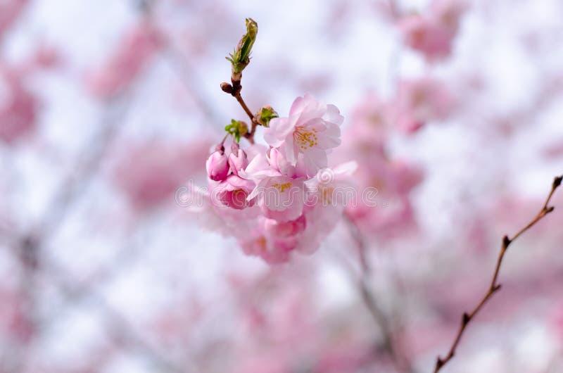 Prunus akolada fotografia royalty free