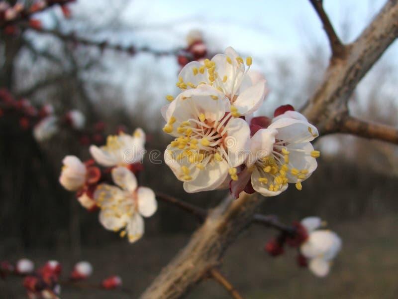 Prunus armeniaca dell'albero di albicocca in germoglio immagini stock