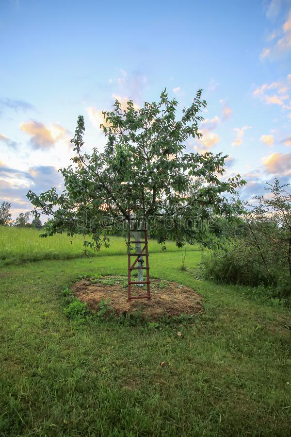 Sweet cherry tree whitewashed trunk growing on field. Old wooden stairs to facilitate harvesting. Prunus avium or sweet cherry tree whitewashed trunk growing on royalty free stock photos