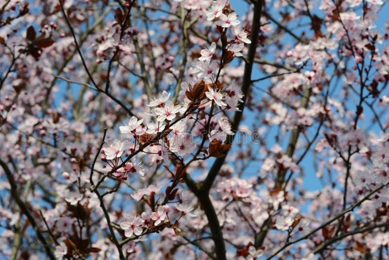 Prunus cerasifera lizenzfreies stockbild