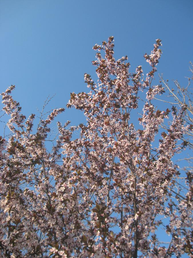 Prunus Cerasifera, The Black Cherry Plum Flowers Blossom in Early Spring with Tree Branch Details on Cloudy Spring Weather. Pink Flowers and Brown Branch stock photo