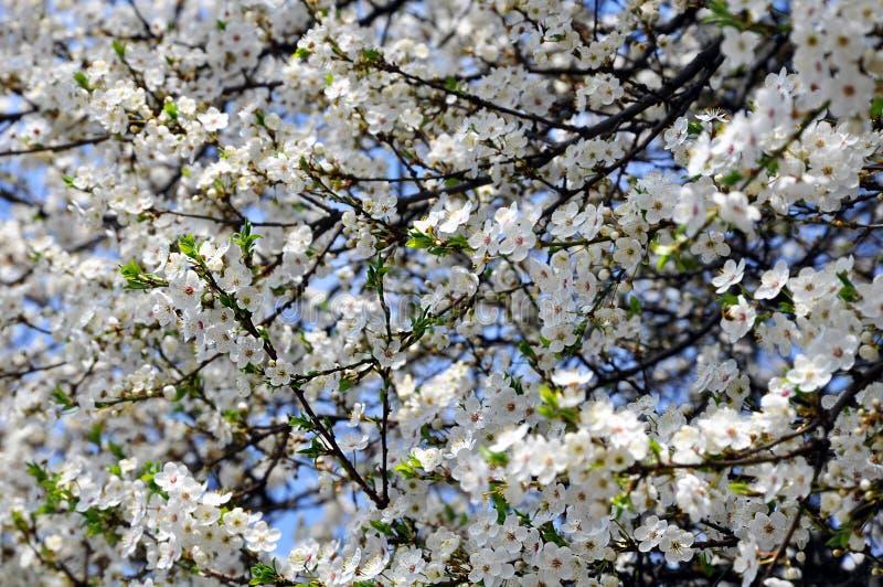 Prunus cerasifera di fioritura a primavera immagini stock libere da diritti