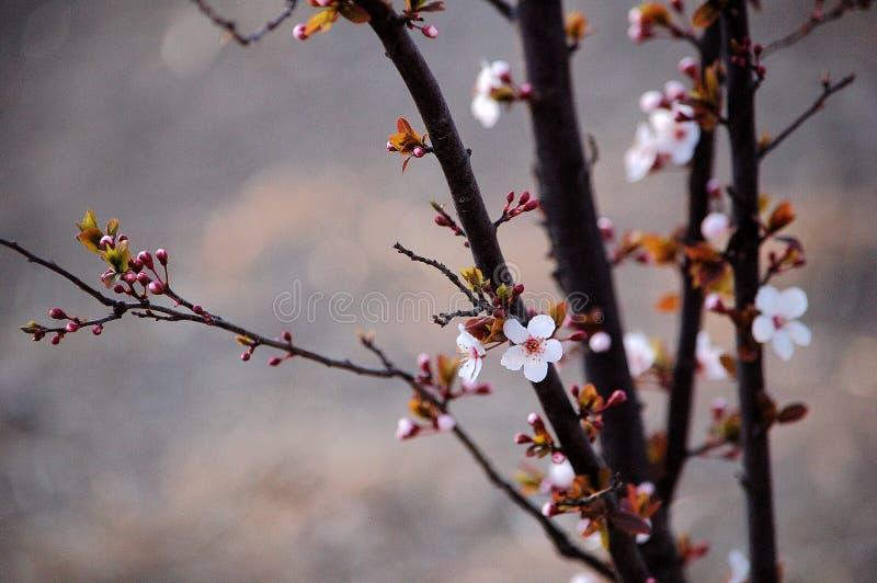 Prunus cerasifera kwitnienie w wiośnie zdjęcie royalty free