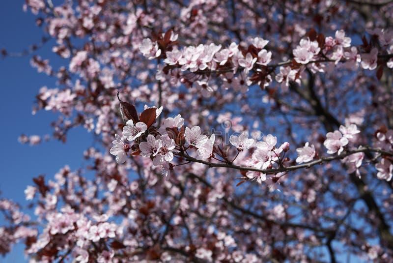 Prunus cerasifera nigra in bloom royalty free stock photography