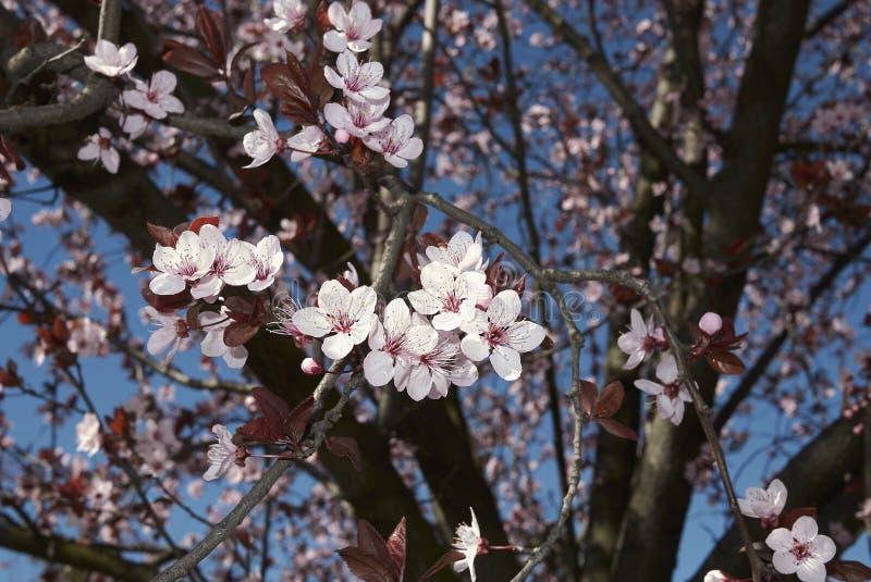 Prunus cerasifera nigra in bloom royalty free stock photos