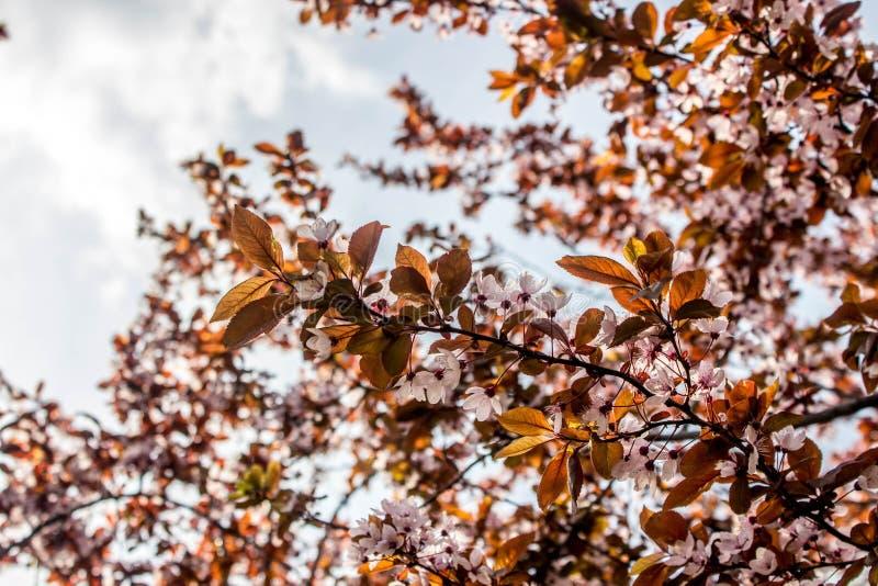 Prunus cerasifera Pissardii Piękny kwiat śliwki tło tła ptaszyn bloosom pary fantastyczny kwiecisty wiosna drzewo Śliwkowy drzewo fotografia royalty free