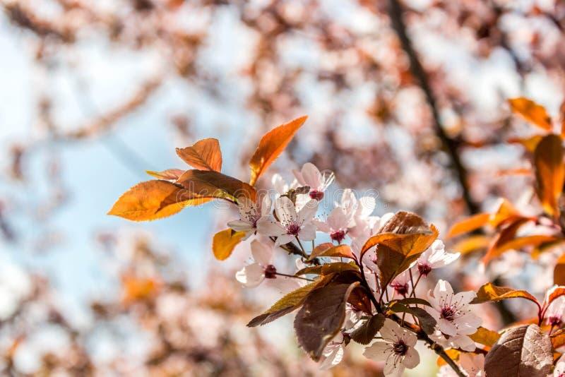 Prunus cerasifera Pissardii Piękny kwiat śliwki tło tła ptaszyn bloosom pary fantastyczny kwiecisty wiosna drzewo Śliwkowy drzewo obraz royalty free