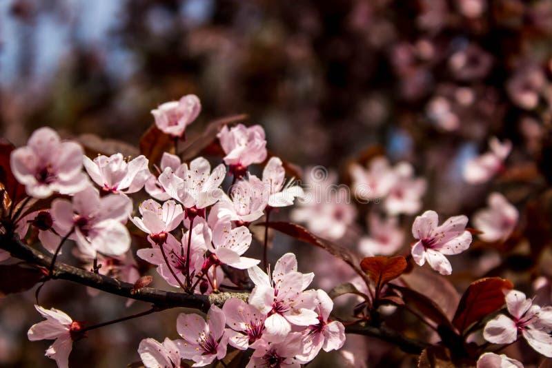 Prunus cerasifera Pissardii Piękny kwiat śliwki tło tła ptaszyn bloosom pary fantastyczny kwiecisty wiosna drzewo Śliwkowy drzewo zdjęcie stock