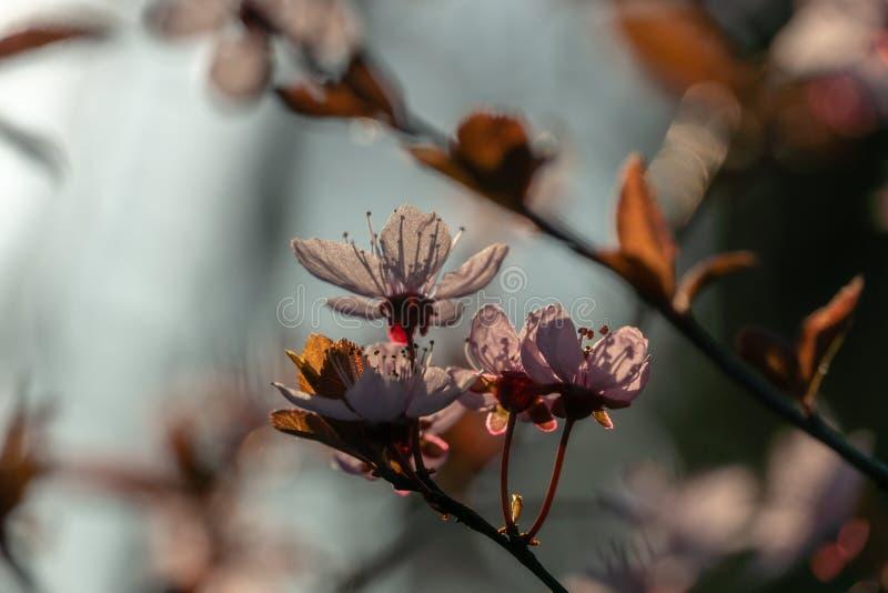 Prunus Cerasifera Pissardii Tree blossom with pink flowers. Spring twig of Cherry, Prunus cerasu stock images