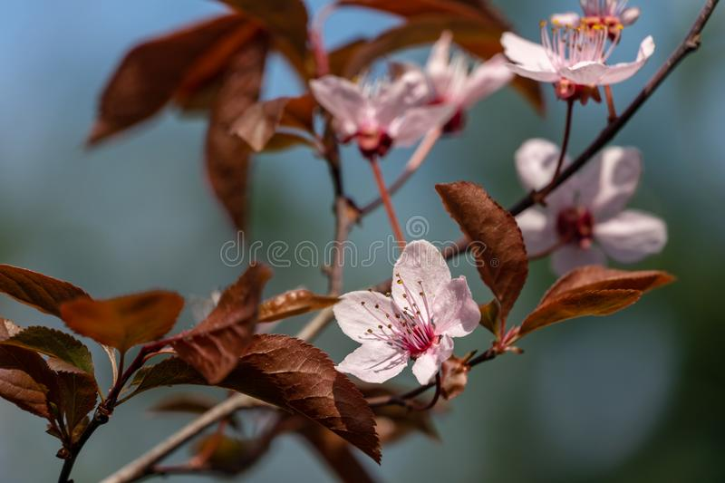 Prunus Cerasifera Pissardii Tree blossom with pink flowers. Spring twig of Cherry, Prunus cerasus. On  beautiful blurred natural garden background. Selective royalty free stock photography