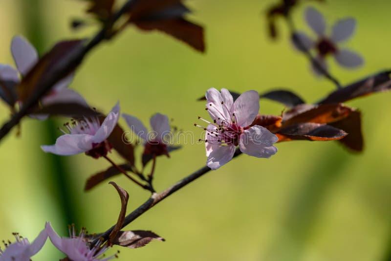 Prunus Cerasifera Pissardii Tree blossom with pink flowers. Spring twig of Cherry, Prunus cerasus stock image