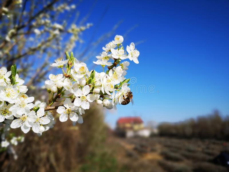 Prunus cerasifera flowers and bee stock photos