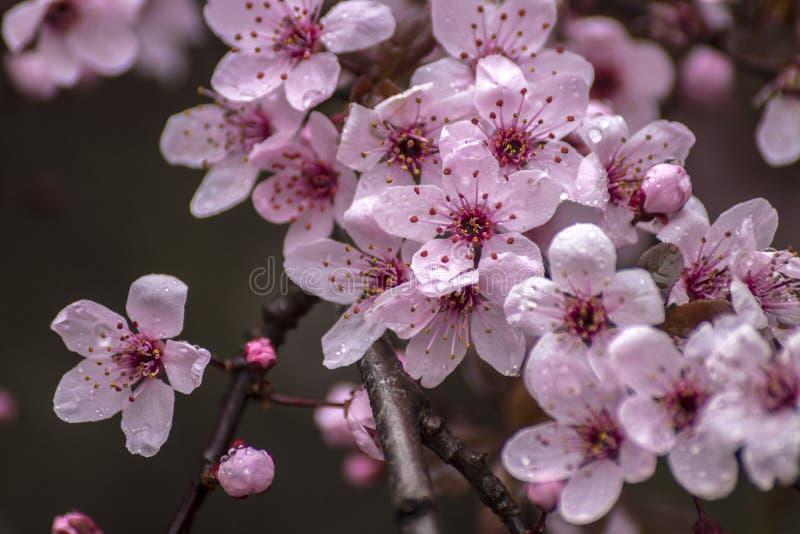 Prunus Cerasifera szczegół Wiosna Różowi Mali kwiaty obraz stock