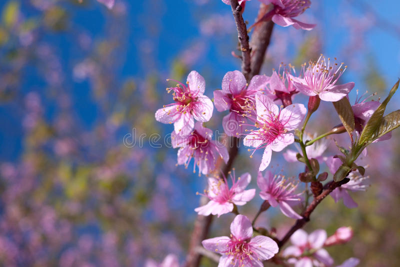 Prunus cerasoides royalty-vrije stock foto