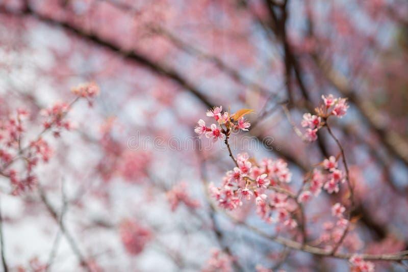 Prunus cerasoides stock afbeelding