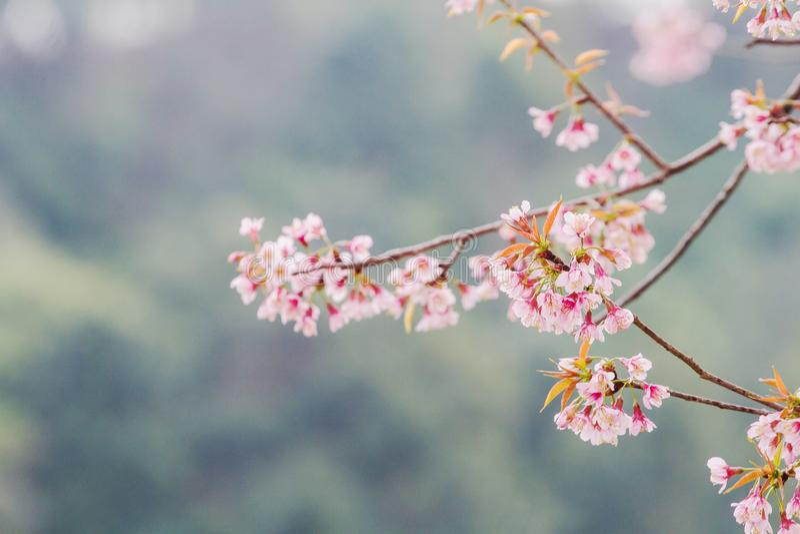 Prunus cerasoides bloem vóór de bladeren wanneer de winter met hout op de achtergrond beëindigt royalty-vrije stock foto