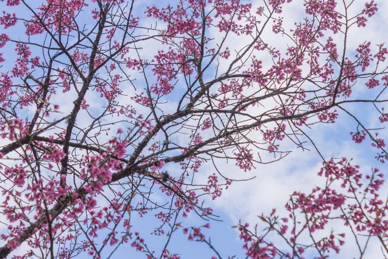 Prunus Cerasoides of Cherry Blossom of Sakura Flower op Blauwe Hemelachtergrond Phi Chi Fa Forest Park 2 stock afbeeldingen