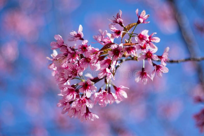 Prunus cerasoides Da Lat royalty free stock photography