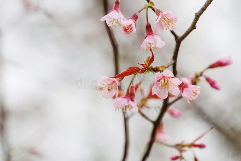 Prunus cerasoides de bloem die, koude lucht is volledig van bergen als achtergrond bloeien stock fotografie