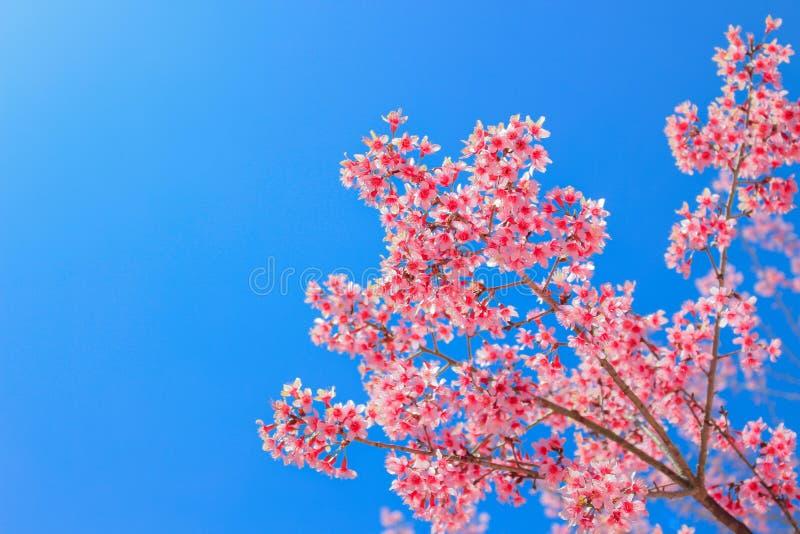 Prunus cerasoides; Wilde himalayan kers stock afbeeldingen